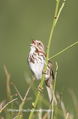 01575-01501 Song Sparrow (Melospiza melodia) singing, Marion Co. IL