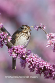 01575-01503 Song Sparrow (Melospiza melodia) in Redbud tree (Cercis canadensis), Marion Co. IL