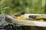 01611-07510 Baltimore Oriole (Icterus galbula) female in bird bath, Marion Co. IL