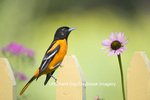 01611-08004 Baltimore Oriole (Icterus galbula) male on picket fence in flower garden, Marion Co. IL