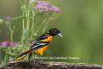01611-08018 Baltimore Oriole (Icterus galbula) male on wooden fence in flower garden,  Marion Co. IL