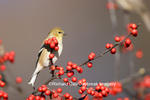 01640-146.01 American Goldfinch (Carduelis tristis) on Common Winterberry bush (Ilex verticillata) Marion Co. IL