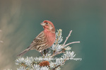 01643-01401 House Finch (Carpodacus mexicanus) male in spruce tree Marion Co. IL