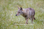 01864-034.04 Coyote (Canis latrans) in field, Cades Cove, Great Smoky Mountains NP, TN