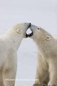 01874-106.04 Polar Bears (Ursus maritimus) sparring, Churchill, MB