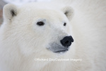 01874-108.04 Polar Bear (Ursus maritimus)  Churchill, MB Canada