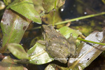 02434-002.05 Cricket Frog (Acris crepitans) in wetland, Marion Co.  IL
