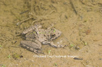 02434-002.11 Cricket Frog (Acris crepitans) in wetland, Ballard Nature Center, Effingham Co.  IL