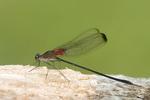 06016-001.02 Smoky Rubyspot (Hetaerina titia) male, Little Wabash River, Clay Co.  IL