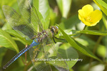 06361-005.05 Common Green Darner (Anax junius) male on Water Primrose (Ludwigia peploides) in wetland Effingham Co. IL