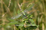 06361-005.08 Common Green Darner (Anax junius) female, Marion Co. IL