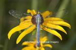 06593-005.02 Eastern Pondhawk (Erythemis simplicicollis) male on Black-eyed Susan (Rudbeckia hirta) in prairie, Marion Co. IL