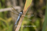 06618-001.04 Yellow-sided Skimmer (Libellula flavida) male, Wayne Co. MO