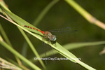 06652-001.19 Blue-faced Meadowhawk (Sympetrum ambiguum) male,  Marion Co. IL