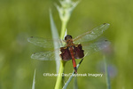 06673-001.19 Carolina Saddlebags (Tramea carolina) on Rattlesnake Master (Eryngium yuccifolium) Marion Co. IL