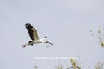 00713-00401 Wood Stork (Mycteria americana) in flight, St Augustine, FL