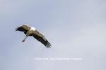 00713-00402 Wood Stork (Mycteria americana) in flight, St Augustine, FL