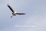 00713-00403 Wood Stork (Mycteria americana) in flight, St Augustine, FL