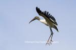 00713-00404 Wood Stork (Mycteria americana) in flight, St Augustine, FL