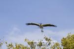 00713-00405 Wood Stork (Mycteria americana) in flight, carrying nesting material,  St Augustine, FL