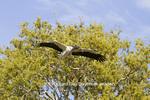 00713-00406 Wood Stork (Mycteria americana) in flight, carrying nesting material,  St Augustine, FL