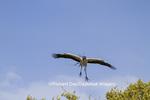 00713-00408 Wood Stork (Mycteria americana) in flight, carrying nesting material,  St Augustine, FL