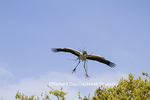 00713-00409 Wood Stork (Mycteria americana) in flight, carrying nesting material,  St Augustine, FL