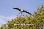 00713-00410 Wood Stork (Mycteria americana) in flight, carrying nesting material,  St Augustine, FL