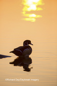 00715-08709 Wood Duck (Aix sponsa) male at sunrise in wetland, Marion Co., IL