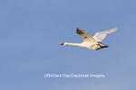 00758-00902 Trumpeter Swan (Cygnus buccinator) in flight, Riverlands Migratory Bird Sanctuary, MO