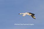 00758-00903 Trumpeter Swan (Cygnus buccinator) in flight, Riverlands Migratory Bird Sanctuary, MO