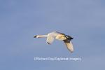 00758-00904 Trumpeter Swan (Cygnus buccinator) in flight, Riverlands Migratory Bird Sanctuary, MO
