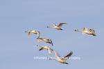 00758-00905 Trumpeter Swans (Cygnus buccinator) and Tundra Swans (Cygnus columbianus) in flight, Riverlands Migratory Bird Sanctuary, MO