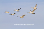 00758-00906 Trumpeter Swans (Cygnus buccinator) and Tunrdra Swans (Cygnus columbianus) in flight, Riverlands Migratory Bird Sanctuary, MO