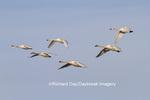 00758-00907 Trumpeter Swans (Cygnus buccinator) and Tunrdra Swans (Cygnus columbianus) in flight, Riverlands Migratory Bird Sanctuary, MO