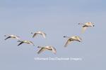 00758-00908 Trumpeter Swans (Cygnus buccinator) and Tunrdra Swans (Cygnus columbianus) in flight, Riverlands Migratory Bird Sanctuary, MO