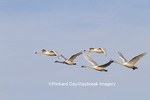 00758-00909 Trumpeter Swans (Cygnus buccinator) and Tunrdra Swans (Cygnus columbianus) in flight, Riverlands Migratory Bird Sanctuary, MO