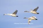 00758-00910 Trumpeter Swans (Cygnus buccinator) in flight, Riverlands Migratory Bird Sanctuary, MO