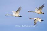 00758-00912 Trumpeter Swans (Cygnus buccinator) in flight, Riverlands Migratory Bird Sanctuary, MO