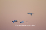 00758-00913 Trumpeter Swans (Cygnus buccinator) in flight at sunset, Riverlands Migratory Bird Sanctuary, MO