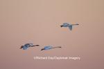 00758-00914 Trumpeter Swans (Cygnus buccinator) in flight at sunset, Riverlands Migratory Bird Sanctuary, MO