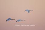 00758-00915 Trumpeter Swans (Cygnus buccinator) in flight at sunset, Riverlands Migratory Bird Sanctuary, MO