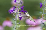 01162-13202 Ruby-throated Hummingbird (Archilochus colubris) at Purple Majesty Salvia (Salvia guaranitica Purple Majesty) in garden, Marion Co. IL