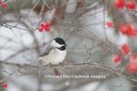 01299-03418 Carolina Chickadee (Parus carolinensis) in Common Winterberry bush (Ilex verticillata) in winter, Marion Co., IL