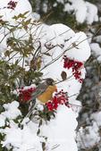 01382-05202 American Robin (Turdus migratorius) in Heavenly Bamboo (Nandina domestica) in winter, Marion Co., IL
