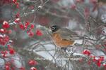 01382-05204 American Robin (Turdus migratorius) in Common Winterberry bush (Ilex verticillata) in winter, Marion Co. IL