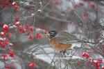 01382-05205 American Robin (Turdus migratorius) eating berry in Common Winterberry bush (Ilex verticillata) in winter, Marion Co. IL