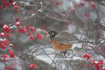 01382-05206 American Robin (Turdus migratorius) eating berry in Common Winterberry bush (Ilex verticillata) in winter, Marion Co. IL