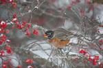 01382-05207 American Robin (Turdus migratorius) eating berry in Common Winterberry bush (Ilex verticillata) in winter, Marion Co. IL