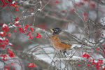 01382-05208 American Robin (Turdus migratorius) in Common Winterberry bush (Ilex verticillata) in winter, Marion Co., IL